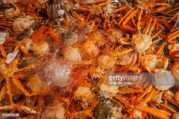 snow crabs in a water tank