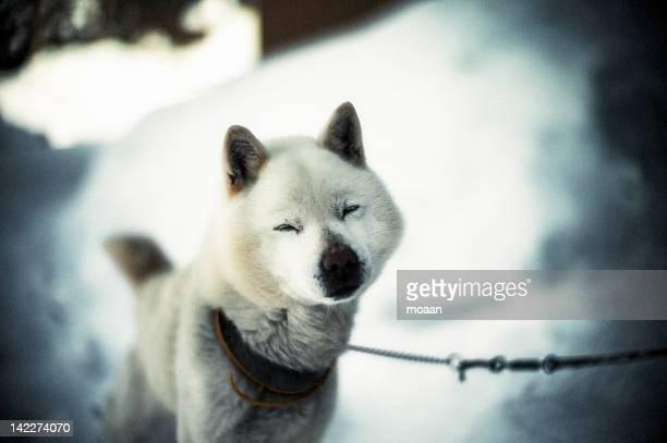 snow dog - mutsu imagens e fotografias de stock