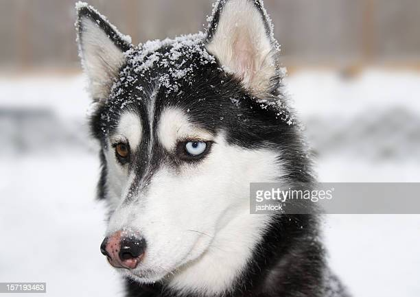 snow dog - malamute stock pictures, royalty-free photos & images