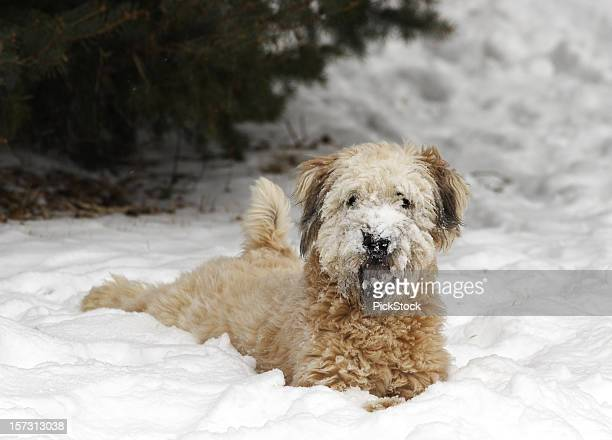 snow dog - soft coated wheaten terrier stock photos and pictures