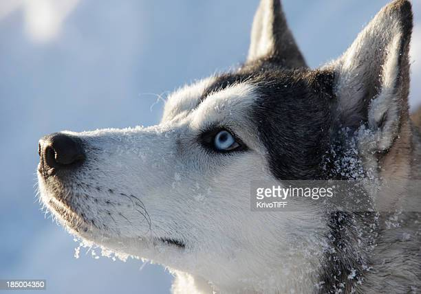 snow dog - sleigh stock photos and pictures