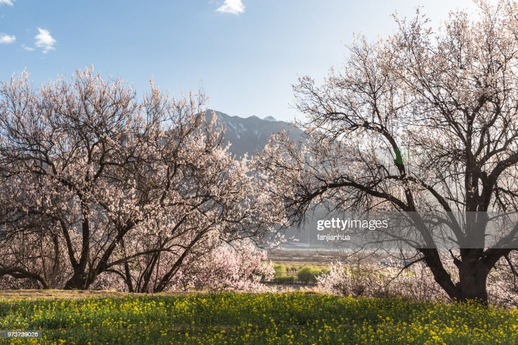 Snow domain peach blossom,Linzhi county,Tibet : Stock Photo
