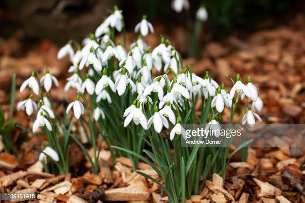 snow drops - andrew dernie stock pictures, royalty-free photos & images