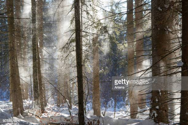 Snow falling from branches of spruce trees in coniferous forest blown away by gust of wind in winter