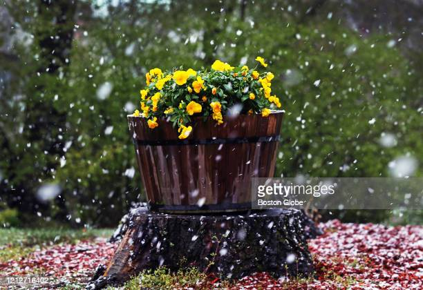 Snow falls around some pansies leaving a white frosting on some mulch in a yard in Methuen MA on May 7 2020