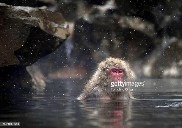 Snow falls as a Macaque monkey bathes in a hot spring at the Jigokudani Yaenkoen wild Macaque monkey park on December 27 2015 in Yamanouchi Japan The...