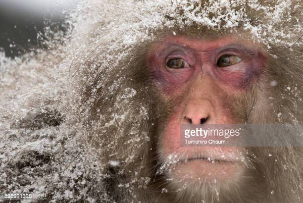 Snow falls as a Macaque monkey stands at the Jigokudani Yaenkoen wild Macaque monkey park on December 27 2017 in Yamanouchi Japan The wild Japanese...