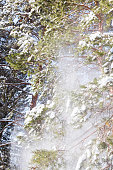 Snow falls from pine branches
