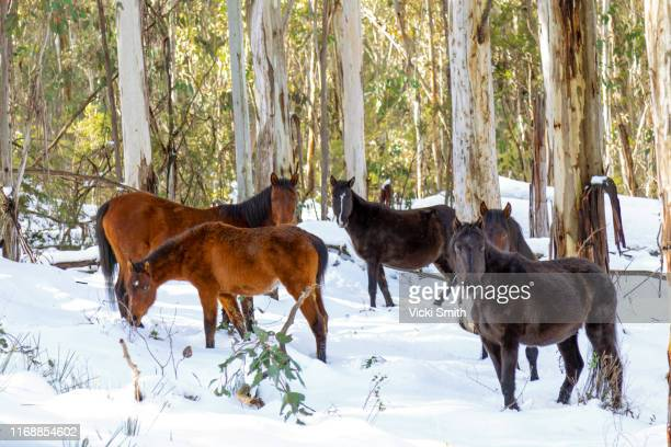 snow fields with wild horses, brumbies and australian gum trees - snowcapped mountain stock pictures, royalty-free photos & images