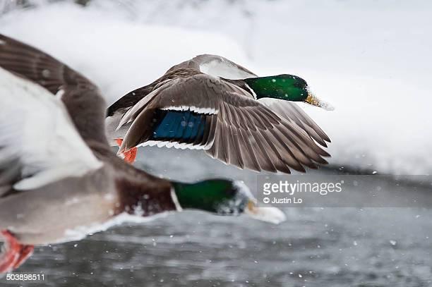 snow flight - マーカム ストックフォトと画像