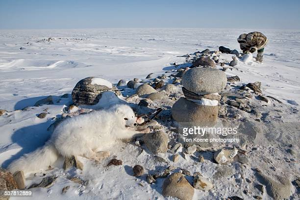 snow fox is caught in an trap - nunavut stock pictures, royalty-free photos & images