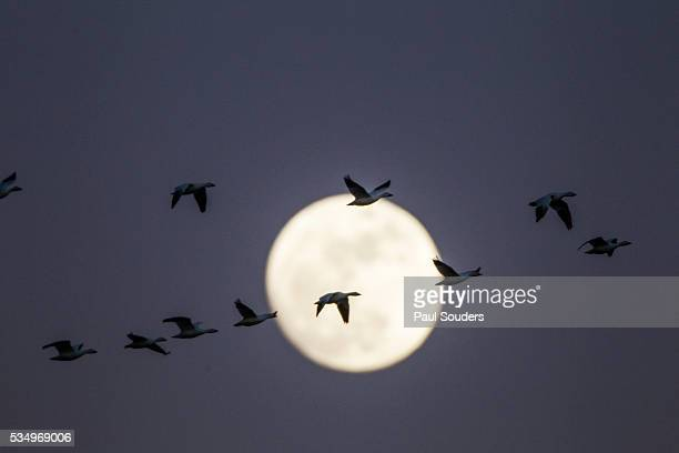 Snow Geese and Full Moon, New Mexico
