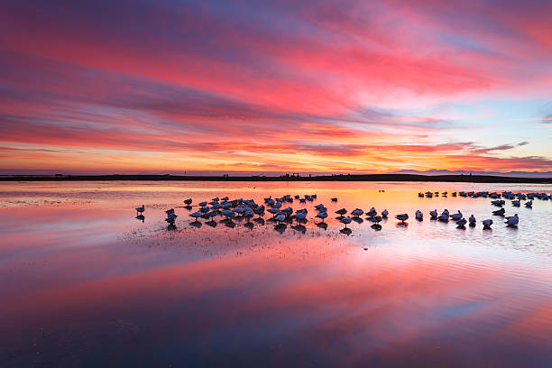 Snow Geese at Twilight
