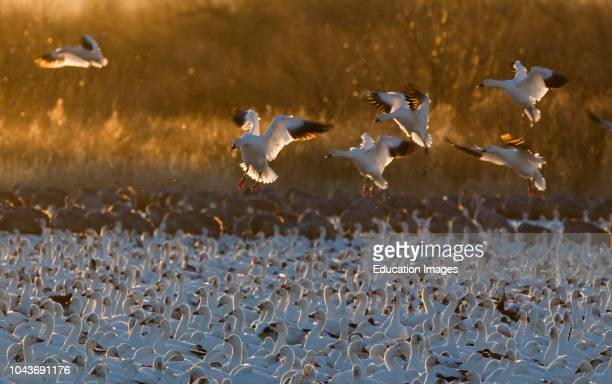 Snow Geese Chen caerulescens arriving at dawn Bosque del Apache New Mexico USA