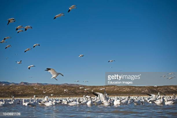 Snow Geese Chen caerulescens Bosque del Apache New Mexico USA