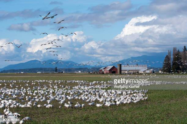 Snow geese feeding on plants and flying over a field in the Skagit Valley near Mount Vernon Washington State USA with a farm in the background