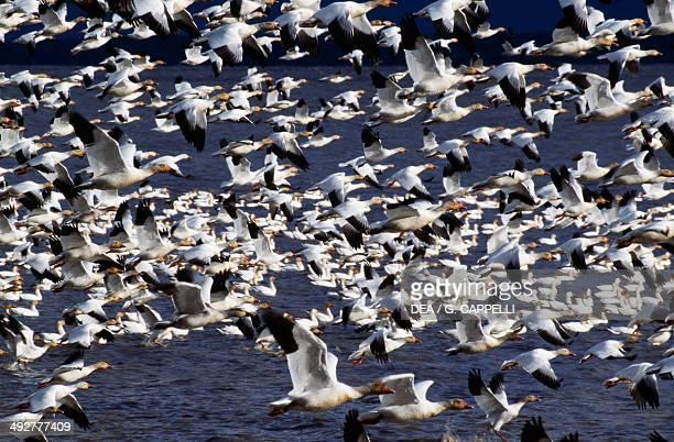 Snow geese flock Anatidae