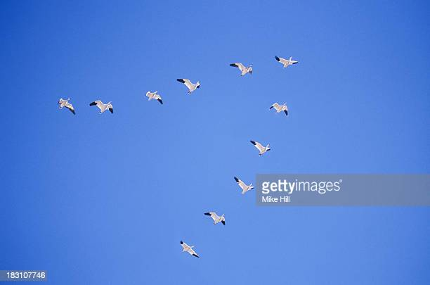 Snow geese flying in V formation
