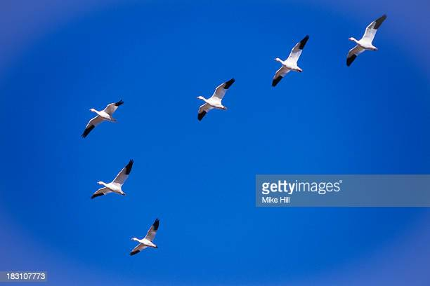 snow geese flying in v formation - birds flying stock photos and pictures