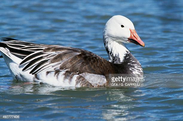 snow goose stock photos and pictures getty images