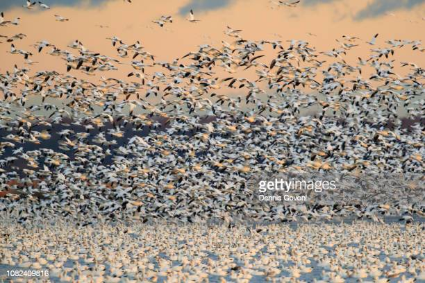 snow geese liftoff - animal migration stock pictures, royalty-free photos & images