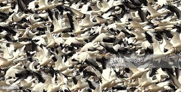 snow geese migration 2 - vogelschwarm stock-fotos und bilder