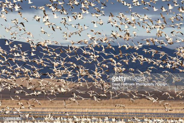 Snow geese (Anser caerulescens) migration in the Klamath Basin National Wildlife Refuge