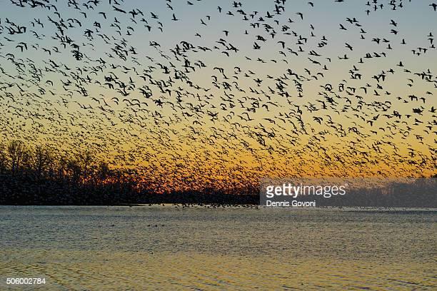 Snow Geese Sunset Blastoff