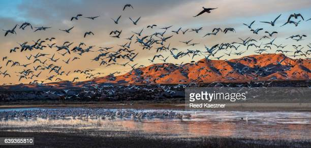 Snow Geese take off from a shallow pond at sunset in this panoramic photograph in Bosque del Apache