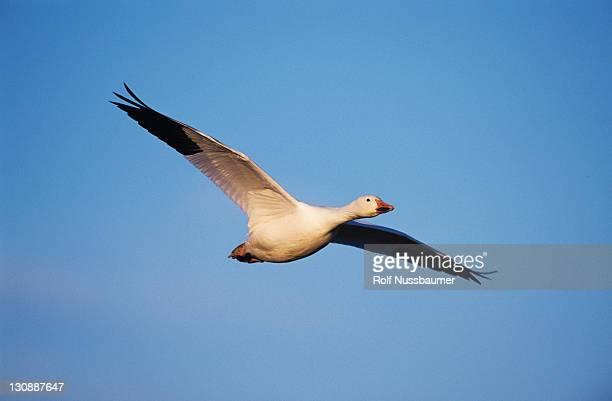 snow goose (chen caerulescens), adult in flight, bosque del apache national wildlife refuge, new mexico, usa - グレイグース ストックフォトと画像