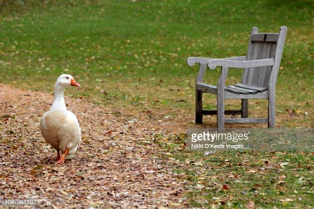 snow goose and a park bench - wellesley massachusetts stock pictures, royalty-free photos & images