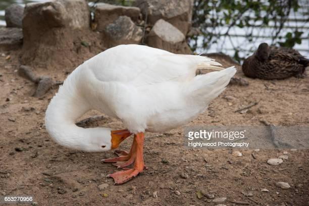 snow goose cleans off - highlywood fotografías e imágenes de stock