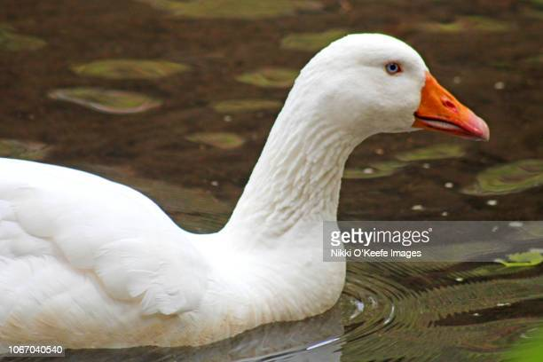 snow goose close-up - wellesley massachusetts stock pictures, royalty-free photos & images
