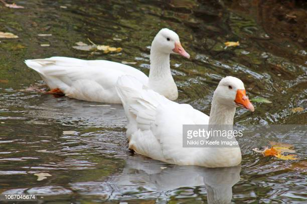 snow goose couple 2 - wellesley massachusetts stock pictures, royalty-free photos & images
