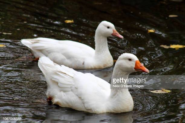 snow goose couple 3 - wellesley massachusetts stock pictures, royalty-free photos & images