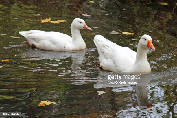 snow goose couple - wellesley massachusetts stock pictures, royalty-free photos & images
