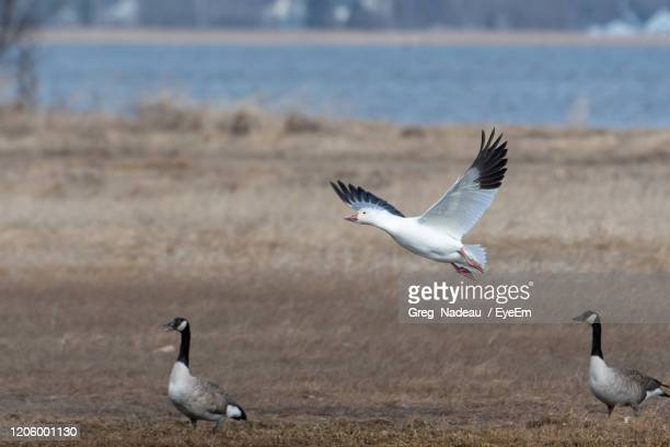 snow goose flying over sea - greg nadeau stock pictures, royalty-free photos & images