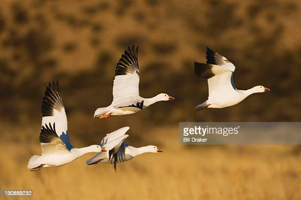 snow goose (chen caerulescens), group in flight, bosque del apache national wildlife refuge, new mexico, usa - グレイグース ストックフォトと画像