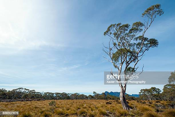 snow gum and buttongrass - eucalyptus tree stock pictures, royalty-free photos & images