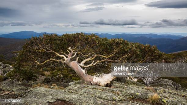 snow gum on mt. gingera - janet scott stock pictures, royalty-free photos & images