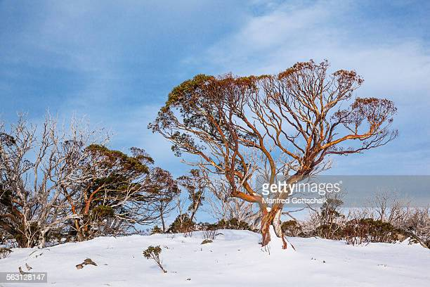 Snow Gums at Perisher Valley