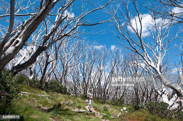 Snow gums in the Dead Horse Gap