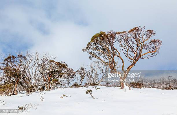 Snow gums in the Snowy Mountains