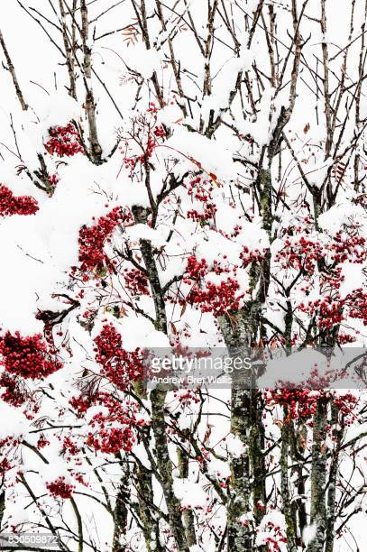 snow laden berries on a sorbus bush in winter - fruit laden trees stock pictures, royalty-free photos & images