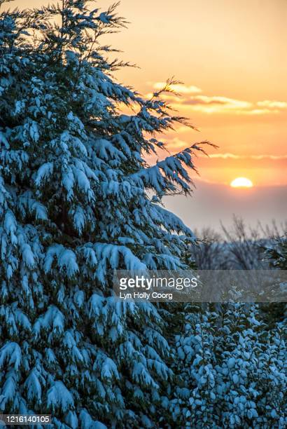 snow laden tree with sunset - lyn holly coorg stock pictures, royalty-free photos & images