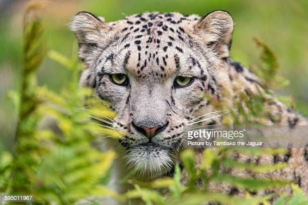 Snow leopard among vegetation