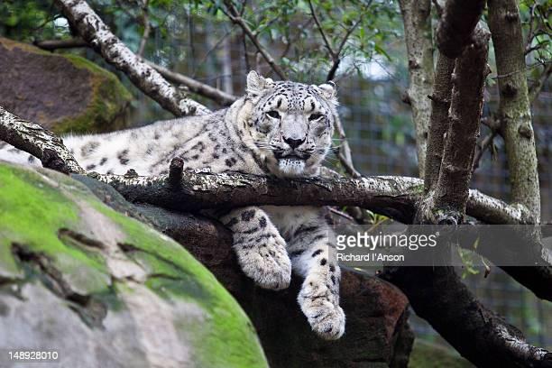 Snow leopard at Taronga Zoo.