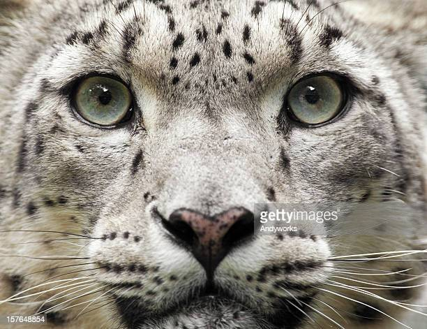 Snow Leopard Close Up (Uncia unc.)