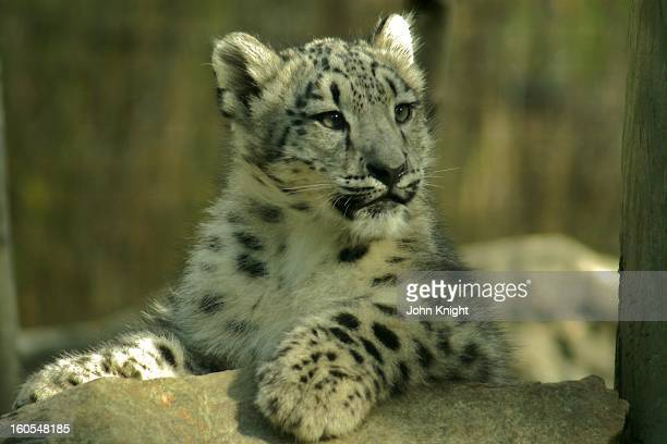 Snow leopard cub age about 5 1/2 months enjoying the early fall sun.