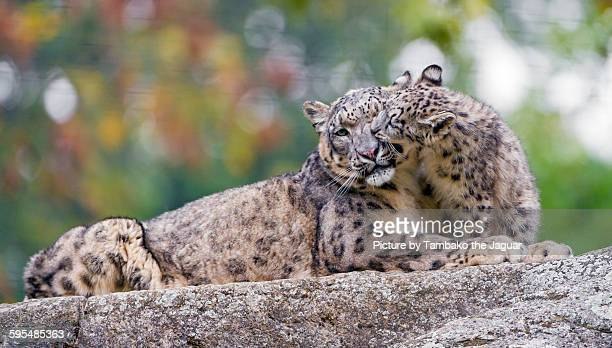 Snow leopard cub biting his mother